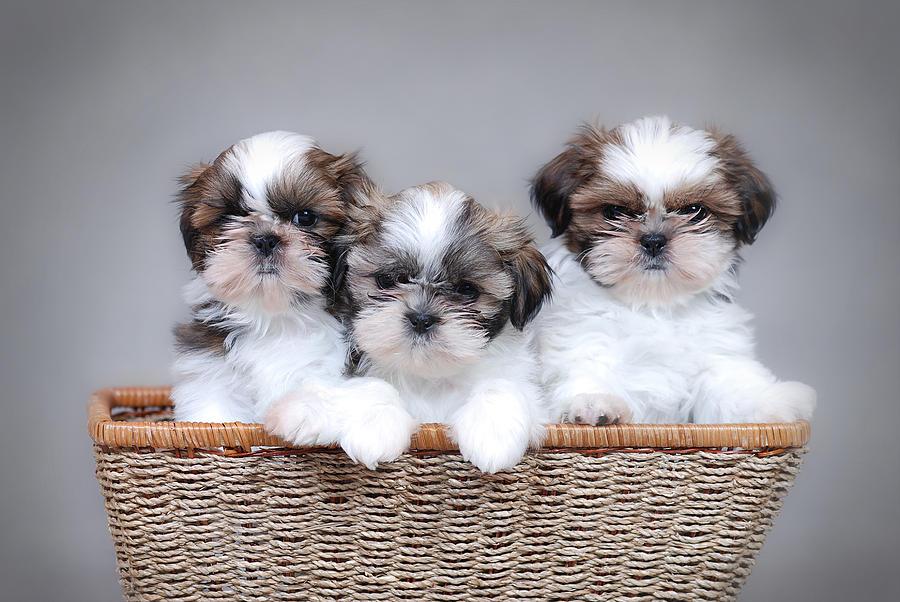 shih-tzu-puppies-waldek-dabrowski
